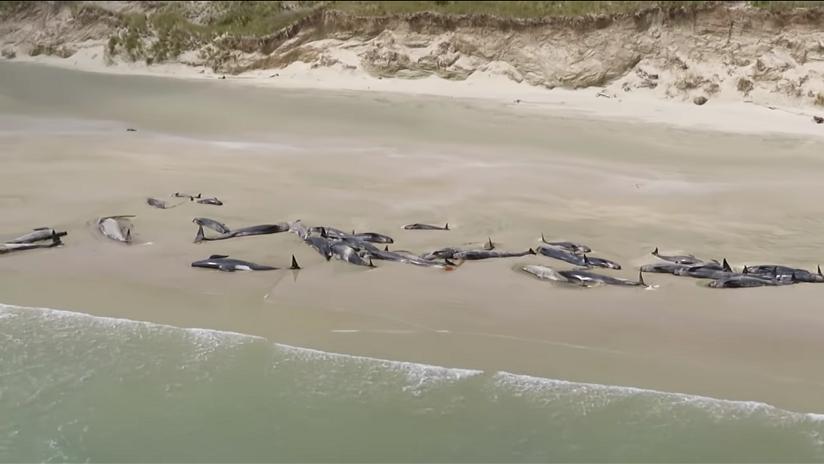 """""""Desgarrador"""": Más de 140 ballenas mueren en costas de Nueva Zelanda (VIDEO)"""