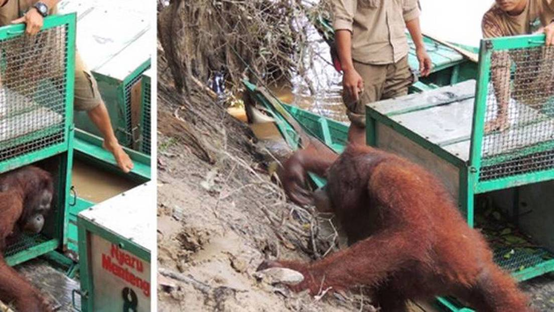 Indonesia: La increíble recuperación de una orangutana abusada sexualmente  en un burdel (FOTO) - RT