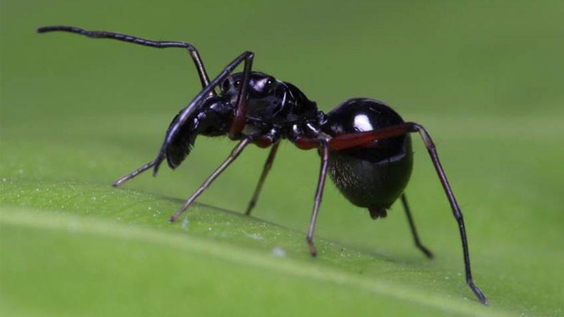 Descubren una especie de arañas que alimenta a sus crías con leche