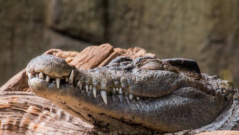 VIDEO: Cae en un estanque con caimanes hambrientos tras romperse la cuerda en un 'show'
