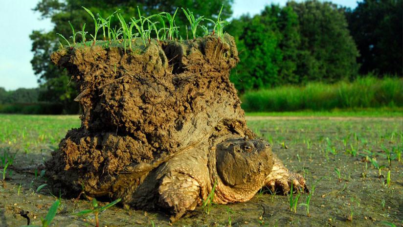 Esta curiosa imagen de una tortuga con un pequeño mundo encima es real y esta es su historia