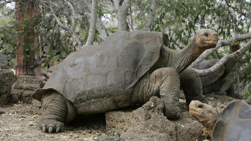 Hallan en el genoma de dos tortugas gigantes claves para combatir el envejecimiento y el cáncer