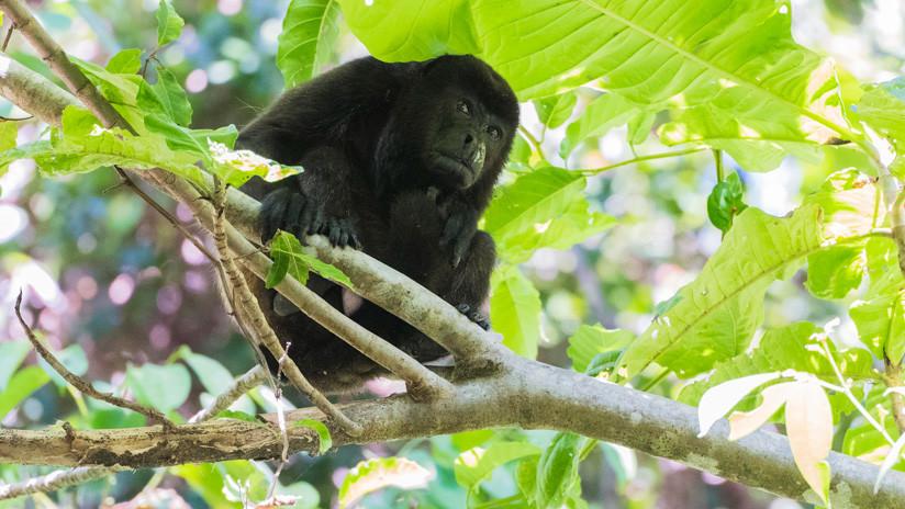 Revelan la peculiar razón del porqué los monos en Costa Rica se tornaron amarillos repentinamente