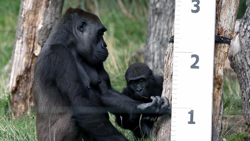 VIDEO: Un experimento constata que los gorilas hacen trampas jugando igual de bien que los humanos