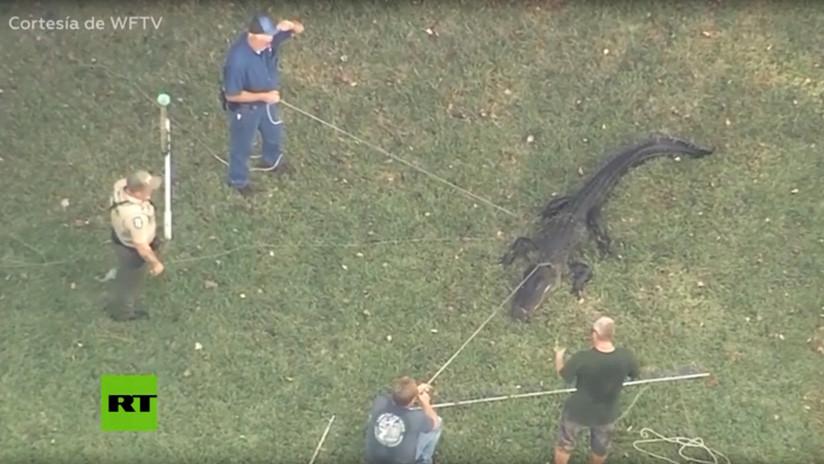 VIDEO: Un cocodrilo ataca a un anciano y lo atrapan con una zapatilla entre sus mandíbulas