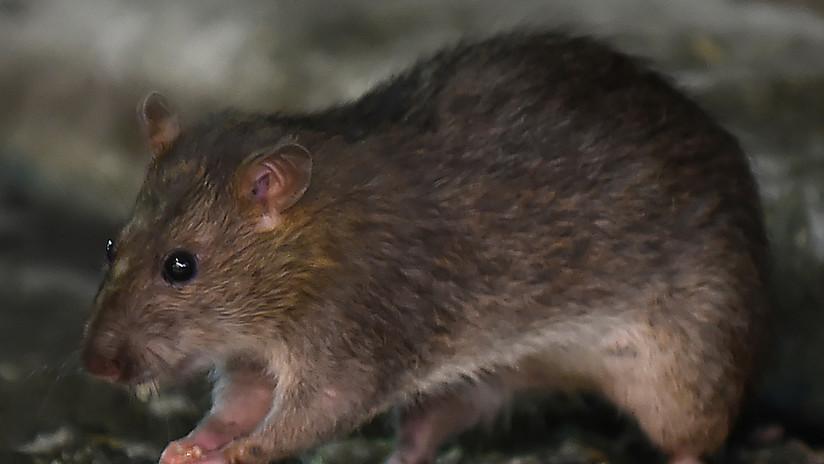 Científicos logran leer la mente de ratas gracias a mapas cerebrales