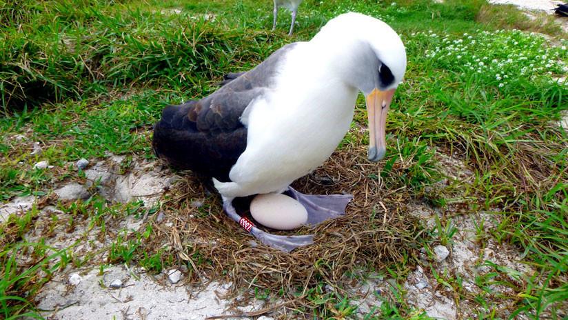 El ave marina más vieja del mundo pone un huevo a los 68 años de edad