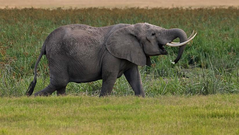 VIDEO: Un elefante se enfrenta a tres hipopótamos por el territorio
