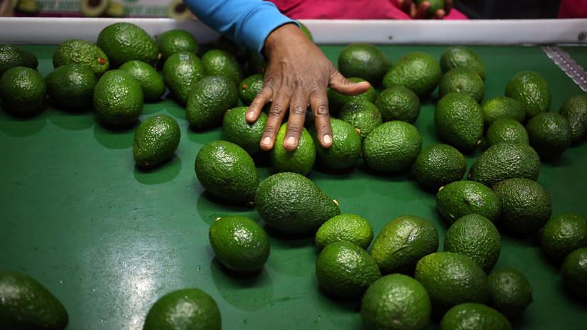 Autoridades holandesas decomisan una tonelada de cocaína oculta en aguacates colombianos