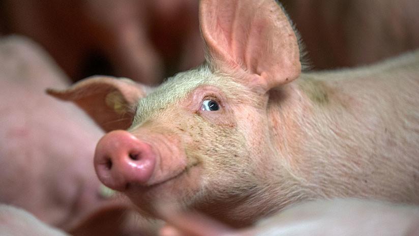 Todo está listo para el primer trasplante de piel de cerdo a un humano