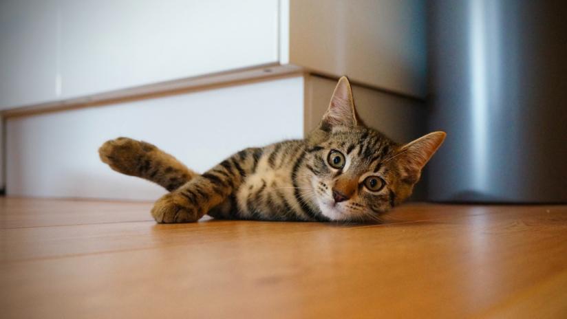 VIDEO: El gato que eligió una cinta de correr para echar una siesta y no piensa rendirse