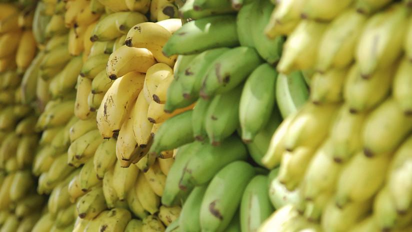 Cultivan por primera vez plátanos sin tierra