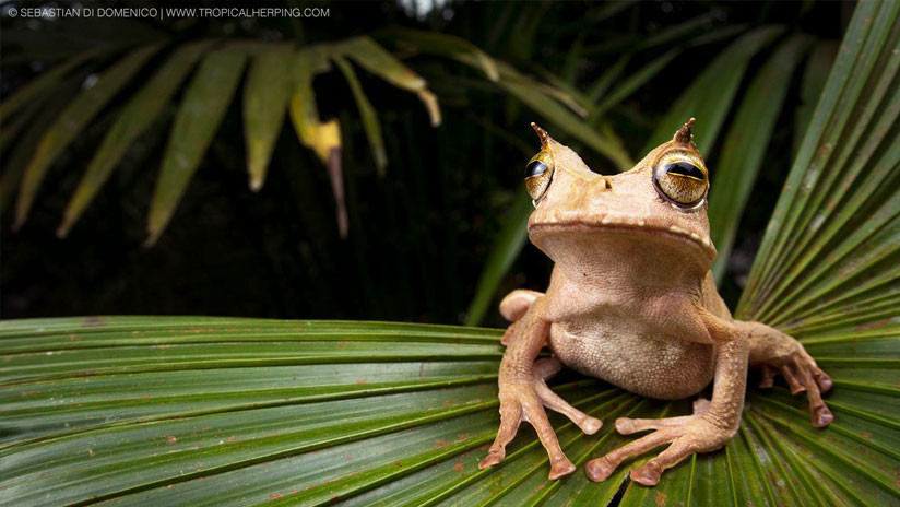 'Resucita' en Ecuador una rara rana de la Lista Roja de Especies Amenazadas (VIDEO)