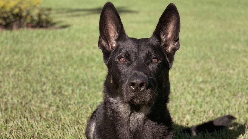 EE.UU.: Un perro policía muere la víspera de Navidad cuando perseguía a un sospechoso armado