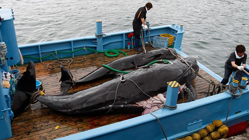 Japón reanuda la caza comercial de ballenas (FOTOS, VIDEO)