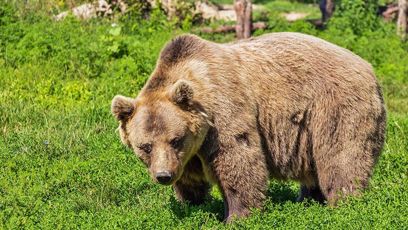 Devorado hasta los huesos: Un cazador ruso muere atacado por un oso que crió en su casa