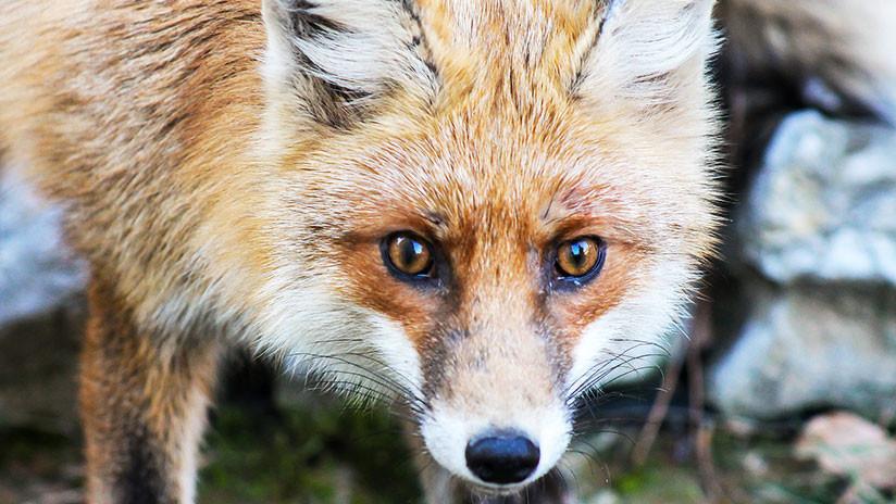 Torturó a zorro hasta la muerte y publicó video — Indignación en España