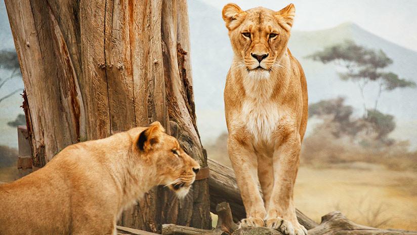 Alquilan casa turística donde los visitantes viven rodeados por más de 70 leones (VIDEO, FOTO)