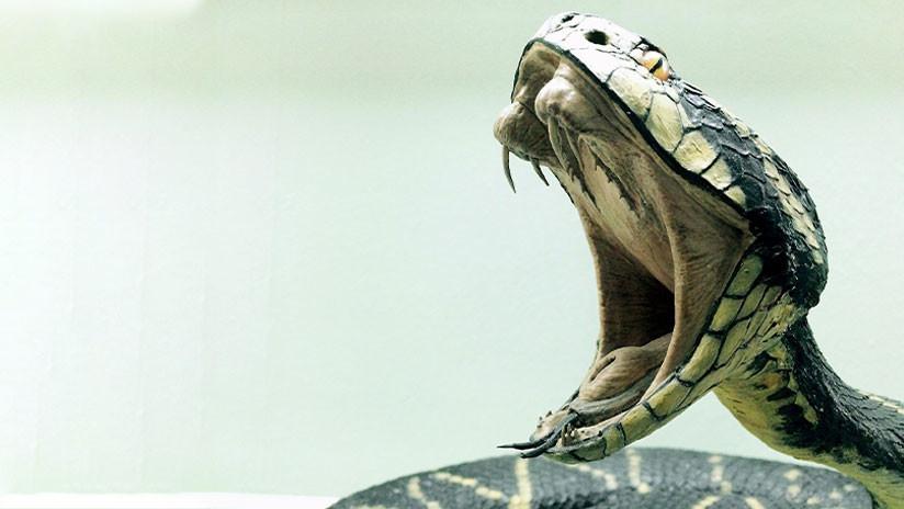 Viral: encontró una cobra de metro y medio...¡en el inodoro!