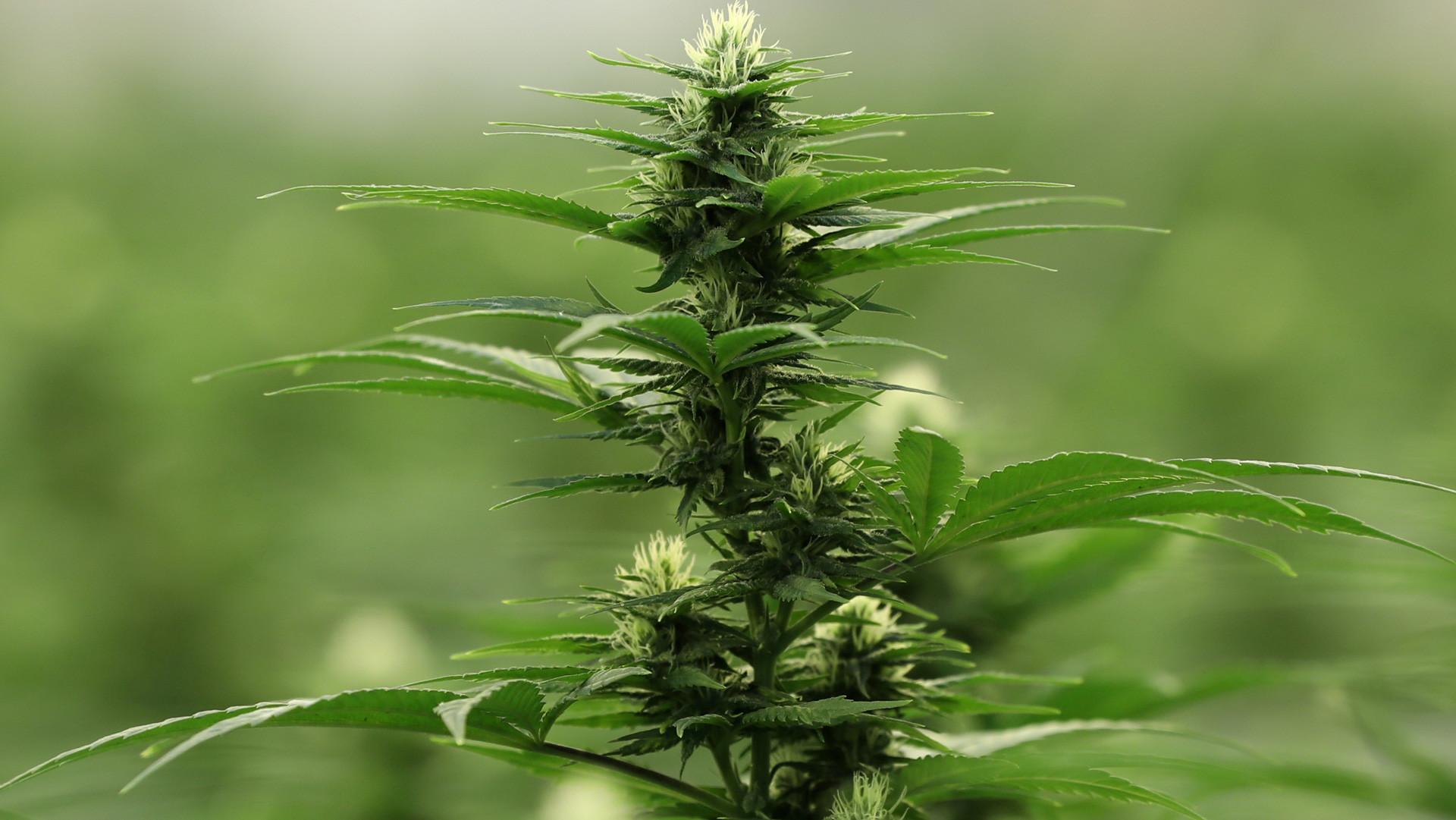 ¿Criminalizar o permitir?: La discusión sobre el uso medicinal y recreativo del cannabis en Ecuador