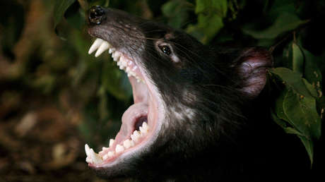 Un espécimen adulto del demonio de Tasmania