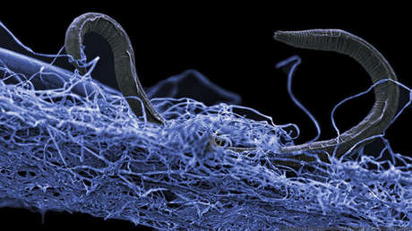 A nematode (Poikilolaimus sp.), Living 1.4km from the Earth.