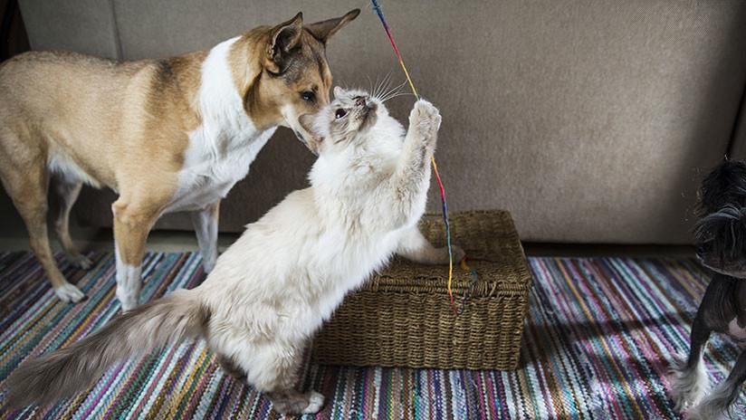 VIDEO: La insólita reacción de un gato a las caricias de un perro se vuelve viral