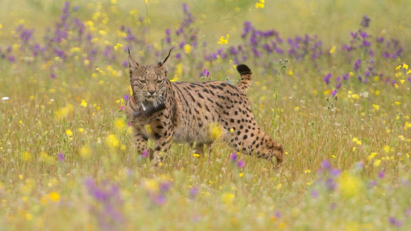 300 plomos de escopeta: Acribillan en España a uno de los felinos en mayor peligro de extinción