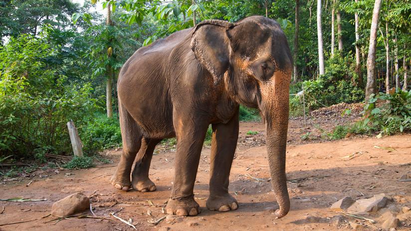 VIDEO: Un elefante exige que su cuidador juegue con él golpeándolo con la trompa