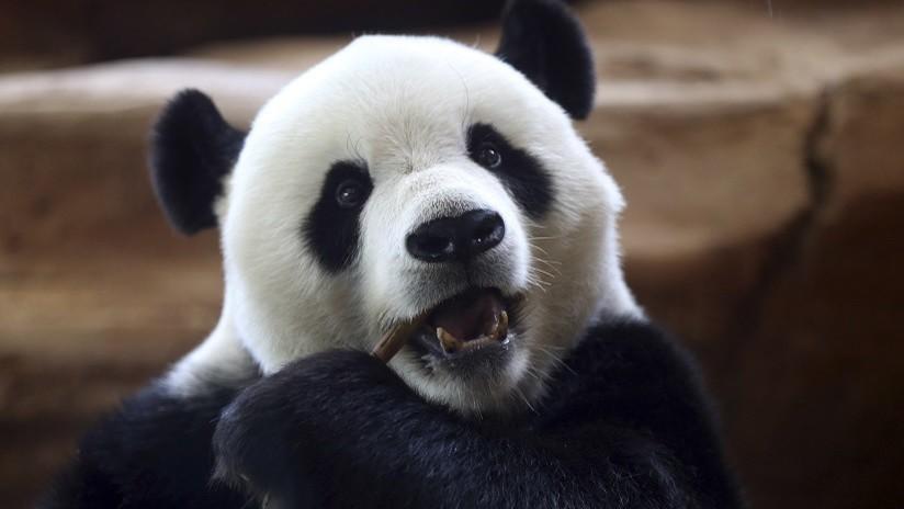 VIDEO: Un panda juega con un cuchillo de carnicero al confundirlo con un tallo de bambú