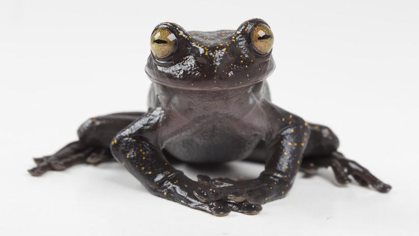 FOTOS: Descubren en Ecuador una rana extraordinaria que desconcierta a los expertos