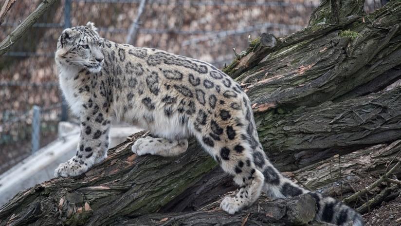 VIDEO: Captan por primera vez a un leopardo de las nieves en una región de China