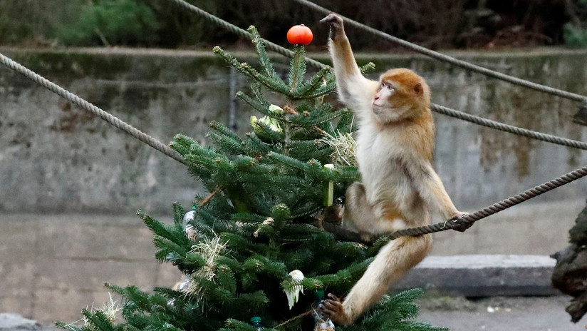 FOTOS, VIDEO: Animales de un zoo de Berlín se dan festín con los árboles de Navidad no vendidos