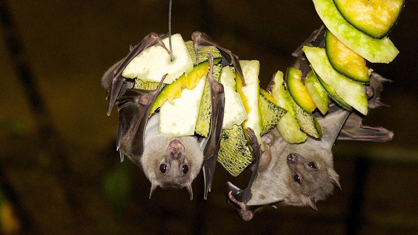 Descubren un nuevo virus en murciélagos de China que podría ser letal para los humanos
