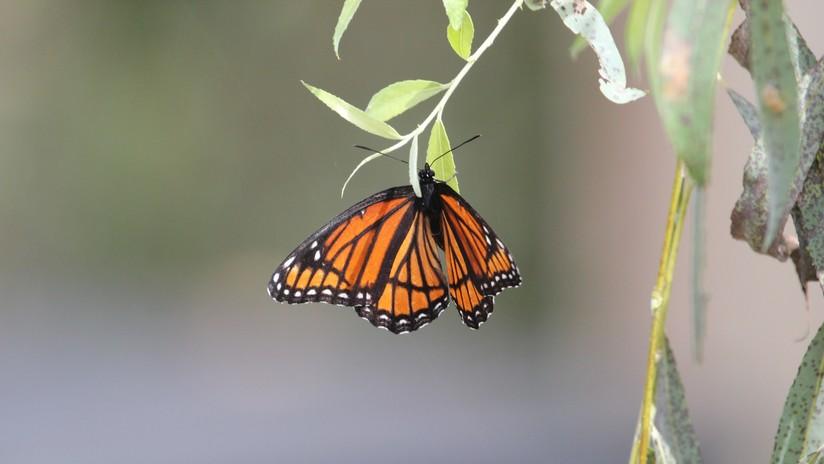La población de mariposas monarcas en California cae en casi un 90 por ciento