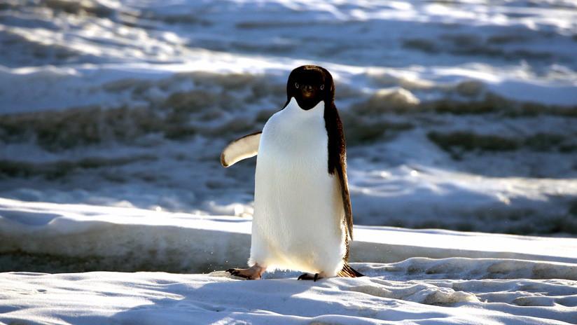 VIDEO: Un pingüino salta 'in extremis' al estilo Indiana Jones para no quedar aislado en el hielo
