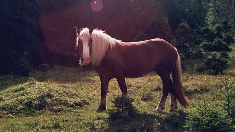 El sobrepeso, la peor 'carga' de los caballos británicos