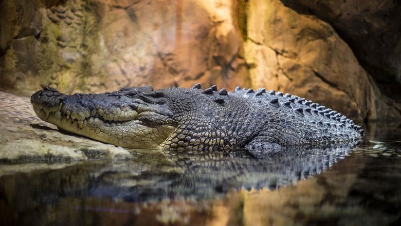 Un enorme cocodrilo salta más de dos metros y devora viva a una científica que le daba de comer