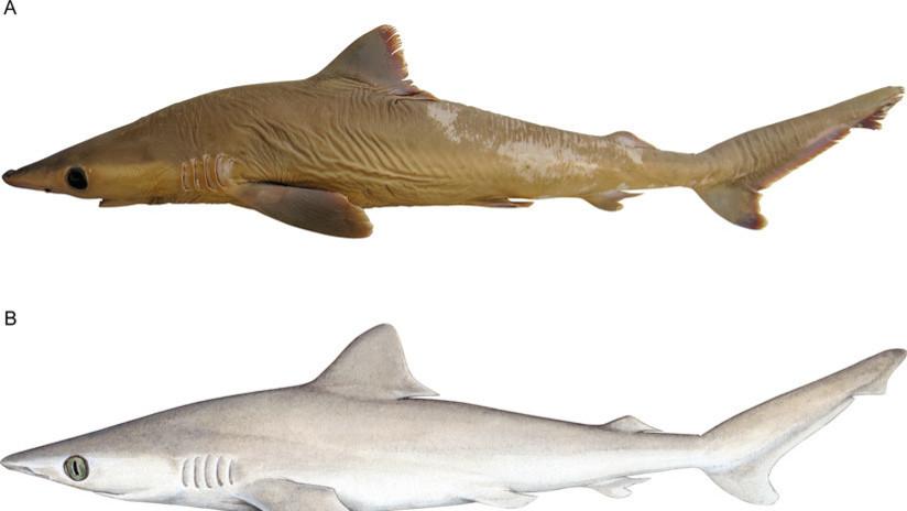 Descubren una nueva especie de tiburón gris... que ya se ha extinguido