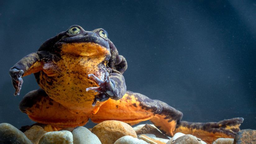 VIDEO: Romeo, la rana más solitaria del mundo, ha encontrado por fin a su Julieta