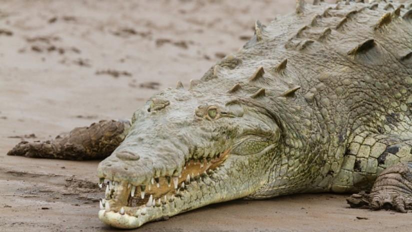 VIDEO: Un enorme caimán aguja causa pánico en una playa en Colombia