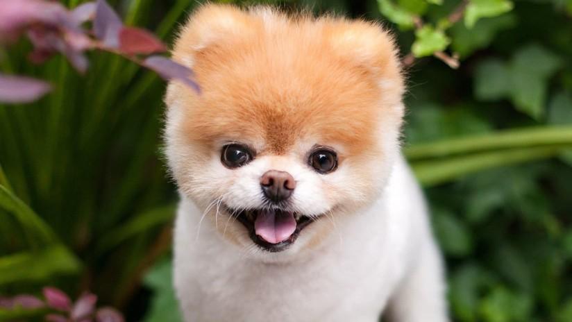 """Muere con el """"corazón roto"""" el 'perro más lindo del mundo'"""