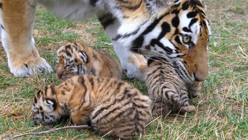 VIDEO: Cámaras captan en China a tres tigres en peligro de extinción con crías