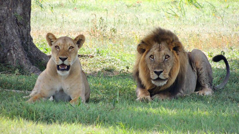 VIDEO: Dos leones desgarran a un hombre frente a turistas en la India