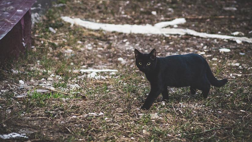 VIDEO: Una gata negra da un susto de muerte a dos zorros árticos en un zoo ruso