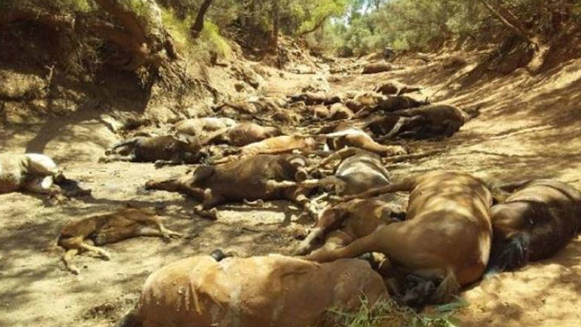 Mueren decenas de caballos por la ola de calor en Australia