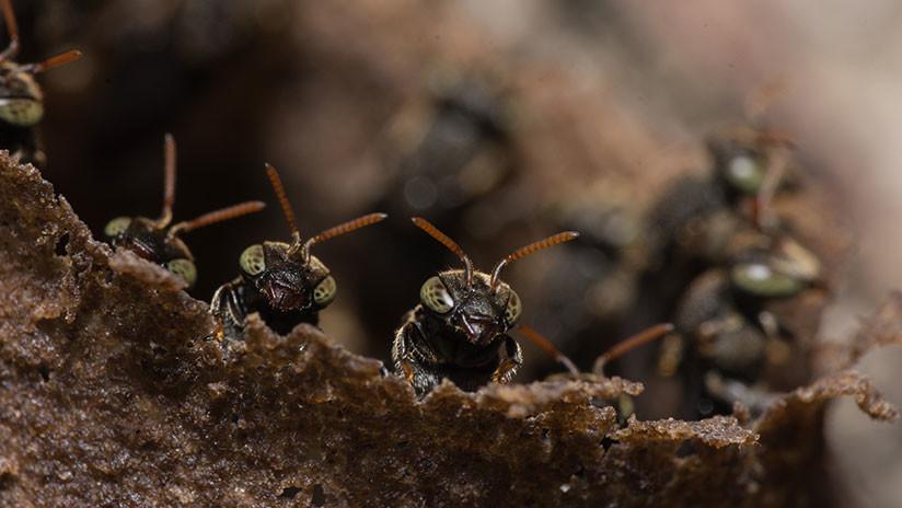 Construir sin coordinación: Las hormigas demuestran que es posible erigir la Torre de Babel