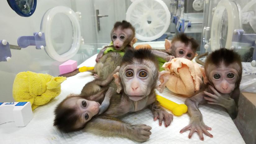 China clona a cinco macacos genéticamente modificados para investigar trastornos de los humanos