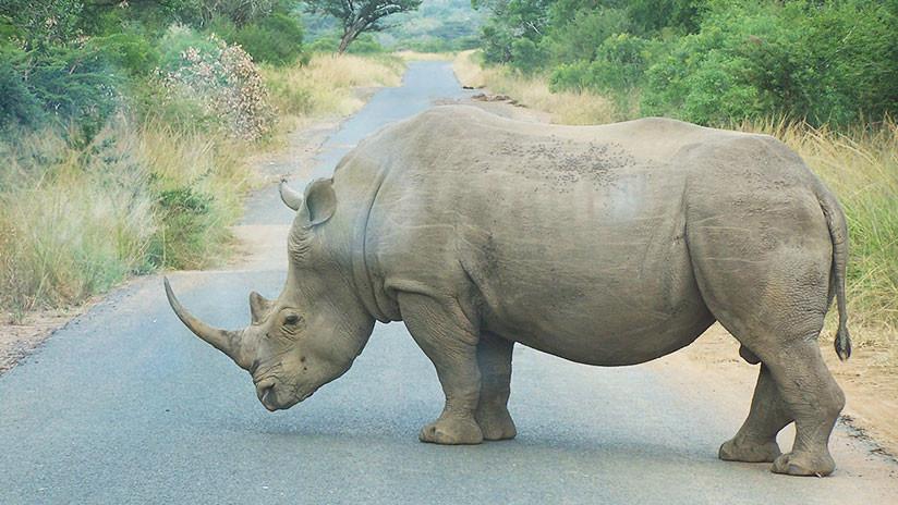 VIDEO: Un rinoceronte negro embiste a un vehículo en un parque natural en Sudáfrica
