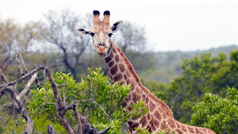VIDEOS: Tras una heroica defensa, una jirafa ahuyenta a varias leonas que intentaban cazarla